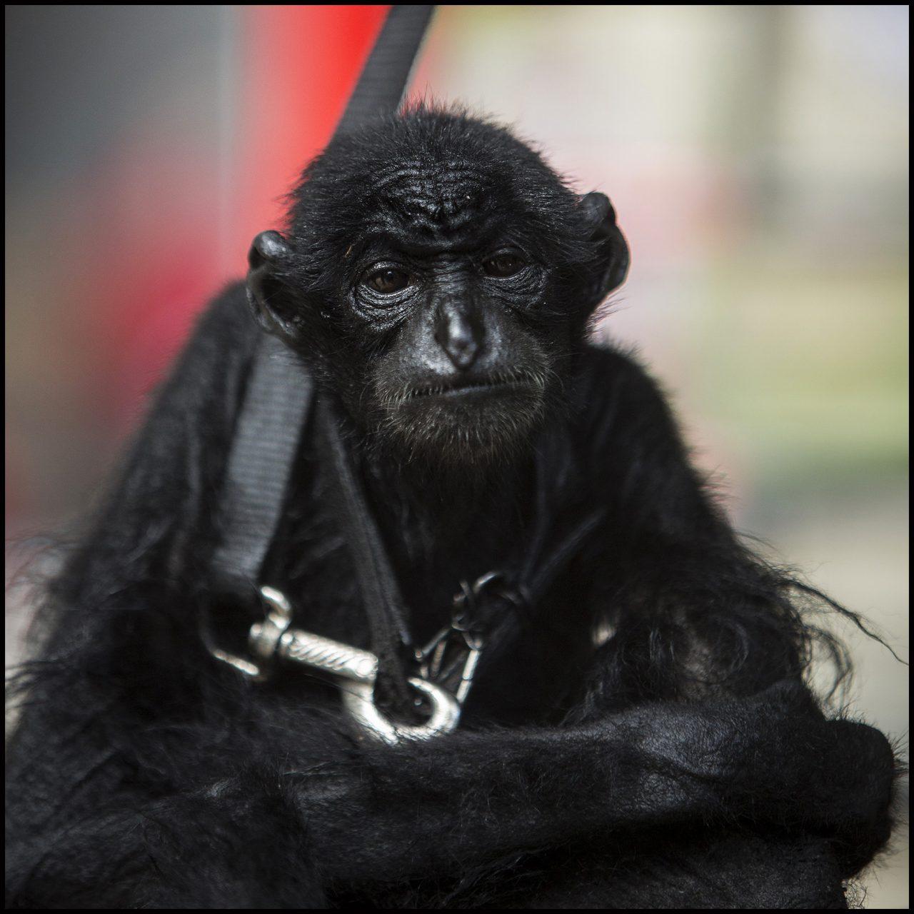 Gibbon en captivité